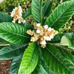 Flowering Loquat ©LADiva Artistry Landscape Design Solutions, specializing in edible & tropical garden design in Gilbert, AZ. Featuring Custom 2D Color Master Landscape Design Plans and 3D Virtual Walkthrough Tours. Cultivating beautiful, productive oases in the greater Phoenix, Arizona area showcasing tropical trees, fruit trees, edible plants & herbs in low maintenance, stunning gardens.