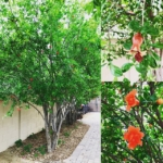 Pomegranate Tree ©LADiva Artistry Landscape Design Solutions, specializing in edible & tropical garden design in Gilbert, AZ. Featuring Custom 2D Color Master Landscape Design Plans and 3D Virtual Walkthrough Tours. Cultivating beautiful, productive oases in the greater Phoenix, Arizona area showcasing tropical trees, fruit trees, edible plants & herbs in low maintenance, stunning gardens.
