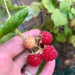 Organic Raspberries ©LADiva Artistry Landscape Design Solutions, specializing in edible & tropical garden design in Gilbert, AZ. Featuring Custom 2D Color Master Landscape Design Plans and 3D Virtual Walkthrough Tours. Cultivating beautiful, productive oases in the greater Phoenix, Arizona area showcasing tropical trees, fruit trees, edible plants & herbs in low maintenance, stunning gardens.