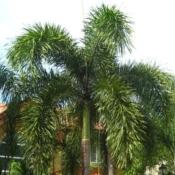 Foxtail Palm - Luxury Entertainment meets Colorful Custom Retreat - Gilbert, AZ - LADiva Artistry Landscape Design Solutions