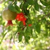 Pomegranate Tree - Luxury Entertainment meets Colorful Custom Retreat - Gilbert, AZ - LADiva Artistry Landscape Design Solutions