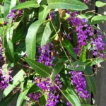 Purple Lilac Vine, ©LADiva Artistry Landscape Design Solutions, specializing in edible & tropical garden design in Gilbert, AZ. Featuring Custom 2D Color Master Landscape Design Plans and 3D Virtual Walkthrough Tours. Cultivating beautiful, productive oases in the greater Phoenix, Arizona area showcasing tropical trees, fruit trees, edible plants & herbs in low maintenance, stunning gardens.