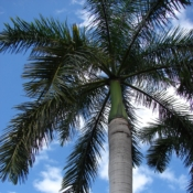 Royal Palm Tree - Luxury Entertainment meets Colorful Custom Retreat - Gilbert, AZ - LADiva Artistry Landscape Design Solutions