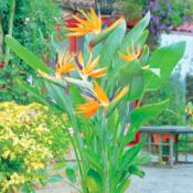 Tropical Bird of Paradise - Luxury Entertainment meets Colorful Custom Retreat - Gilbert, AZ - LADiva Artistry Landscape Design Solutions